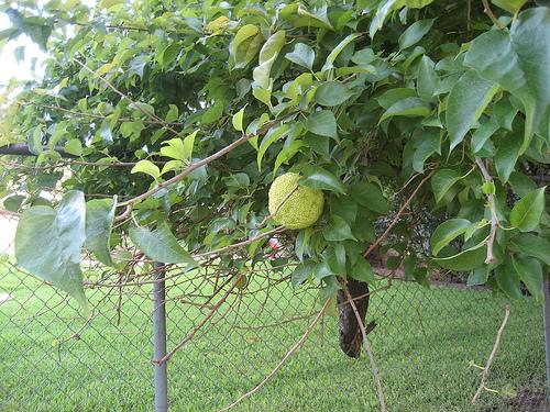 brain fruit, aka hedge apple